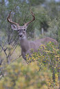 Sneaking in a whitetail buck with long antler tines and wide spread is on deer trail Stock Images