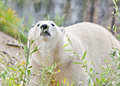 Sniffing polar bear at some leafs Royalty Free Stock Photo