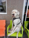 Snob dog amazing white dogue argentin sitting upright in a chair bar Royalty Free Stock Image