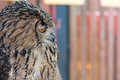 Snobby owl a profile of an that looks or stuck up Royalty Free Stock Photo