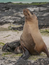 Snobby Sea Lion Royalty Free Stock Photo