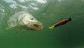 Snook fish chasing lure going after during fishing trip Stock Images
