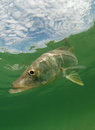 Snook fish underwater with sky Stock Photos