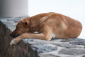 Snoozing dog a tired taking a well earned rest on a wall Stock Image