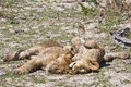 Snoozing wet lion cubs Stock Photography