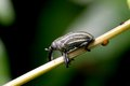 Snout beetle Royalty Free Stock Image