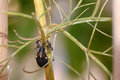 Snout beetle on a twig Royalty Free Stock Photography