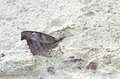 Snout butterfly on the floor is resting Royalty Free Stock Photo