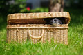 Snout of a cute puppy looks out of a bag funny picture elo german dog breed that with the half closed Royalty Free Stock Image