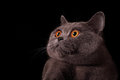 Snout of gray british cat with yellow eyes on black background Royalty Free Stock Image