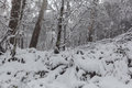 Snow in Australian eucalyptus forest. Royalty Free Stock Photo