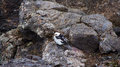 Snow bunting bird on volcanic rock in iceland black and white the krafla area Royalty Free Stock Photos