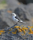 Snow bunting male flatey island iceland Royalty Free Stock Images