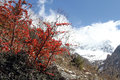 Snow and bush white red leaves on the in nepal Stock Photos