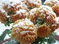 Snow on chrysanthemum Stock Image