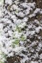 Snow cover bark of tree Royalty Free Stock Photo