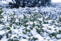 Snow cover with holly the during a blizzard in beijing of china Royalty Free Stock Photos