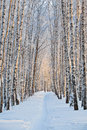 Snow covered birch alley in winter at sunrise Stock Images