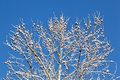 Snow covered branches against blue sky Royalty Free Stock Photo