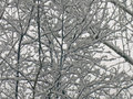 Snow covered branches fresh on thin and twigs the are bending under the image can be used as a background the image can be Stock Images