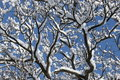 Snow-covered branches of a large tree Stock Photo