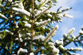 Snow covered christmas tree closeup view of a spruce with fresh the evergreen joyfulness of holidays the smell of the forest in Stock Photos