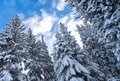 Snow covered christmas trees with blue cloudy sky Royalty Free Stock Photo