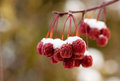 Snow Covered Crab Apples Royalty Free Stock Images