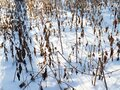 Snow-covered dried undergrowth on winter day Royalty Free Stock Photo
