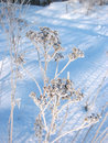 Snow covered dry flower Royalty Free Stock Photography