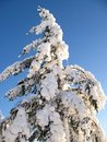 Snow covered evergreen tree Royalty Free Stock Image