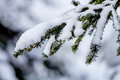 Snow covered evergreen tree branch at snoqualme pass washington on mountain Royalty Free Stock Photo