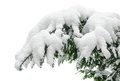 Snow covered fir branch heavily with fresh on pure white background Stock Image