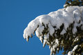Snow covered fir tree bough against blue sky a heavily laden with after a snowstorm with a in the background Royalty Free Stock Photo