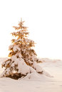Snow covered fir tree in golden light Stock Image