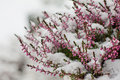 Snow covered flowers Royalty Free Stock Photo