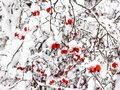 snow-covered hawthorn berries in forest in winter Royalty Free Stock Photo