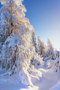 Snow-covered larches and spruce trees Royalty Free Stock Photo