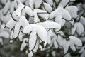 Snow covered leaves Royalty Free Stock Photo