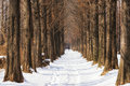 Snow covered metasequoia road Royalty Free Stock Photo