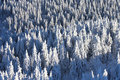 Snow covered pine forest aerial view of a with winter Stock Photo