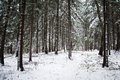 Snow covered pine forest needles with frost Royalty Free Stock Photos