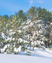 Snow covered pine forest in winter Royalty Free Stock Image