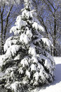 Snow Covered Pine Tree Stock Photo