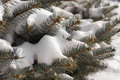 Snow covered pine tree branches closeup background view of evergreen and needles on a cold winter day Stock Photography