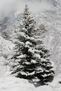 A Snow-Covered Pine Tree in the Mountains Stock Photos