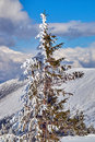 Snow-covered spruce trees during winter in the Giant Mountains Royalty Free Stock Photo