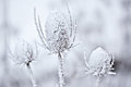 Snow Covered Teasel Royalty Free Stock Photo