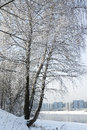 Snow-covered tree. Royalty Free Stock Photo