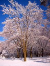 Snow covered trees 3 Stock Photography